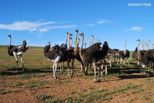 Ostriches near Oudtshoorn