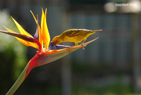 Strelitzia flower